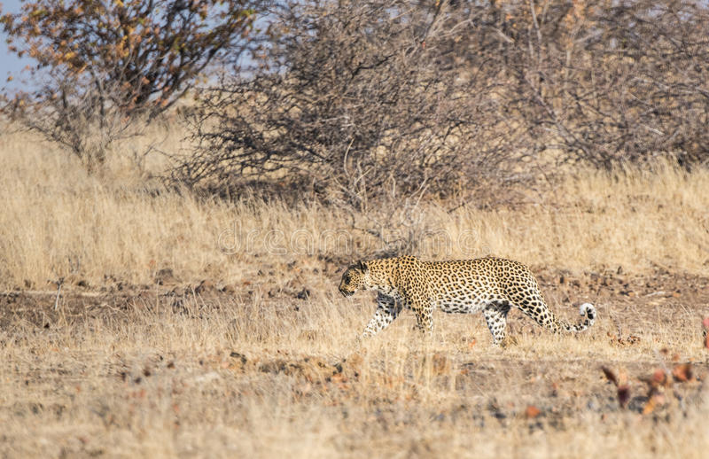 Wild Leopard (Panthera pardus) Walking through Grass royalty free stock images