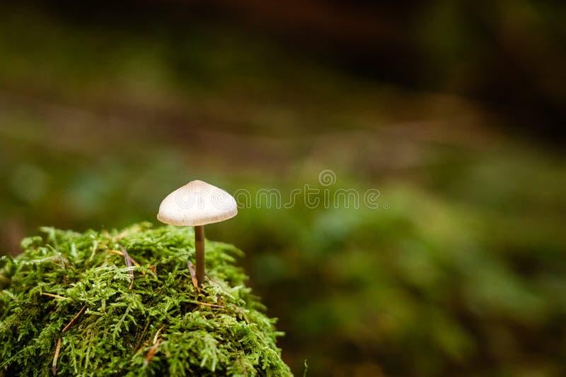 Wild Liberty cap mushroom isolated royalty free stock images