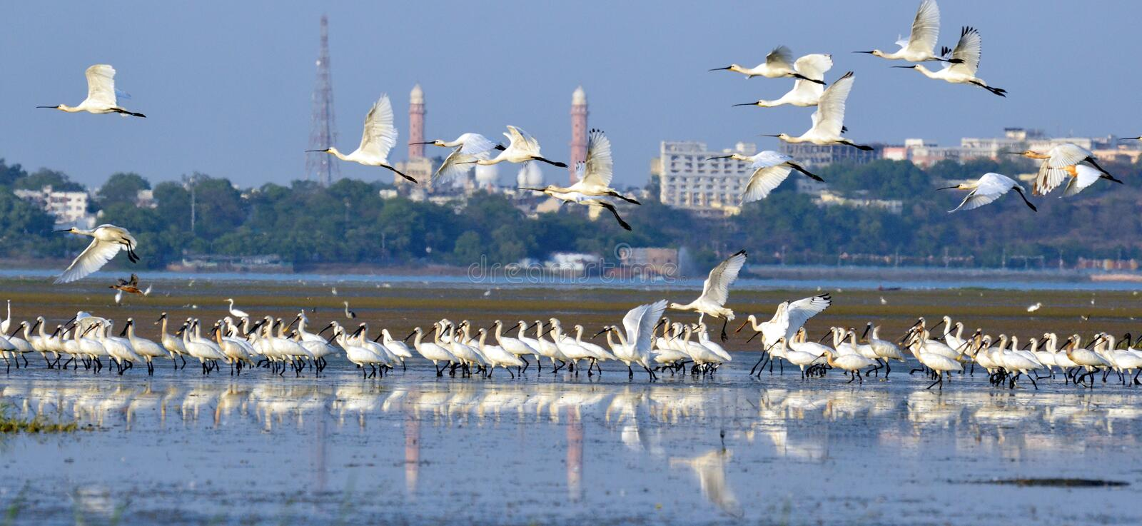 Wild life in city of lake. Bhopal, the capital city of madhya pradesh state, India which is known for worst industrial disaster, Bhopal Gas tragedy , Now famous royalty free stock photography