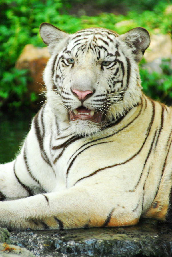 Download A Wild Life Shot Of A White Tiger Stock Image - Image: 38815883