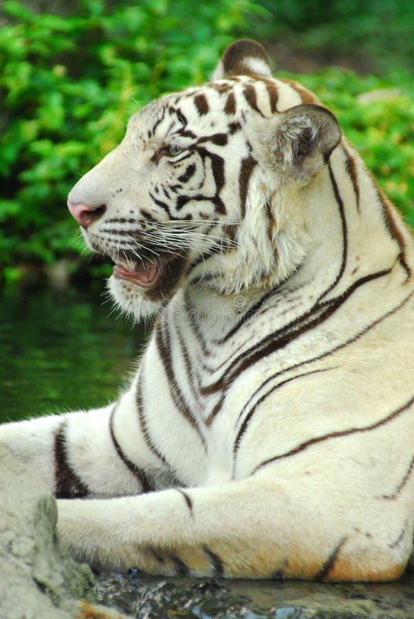 A wild life shot of a white tiger