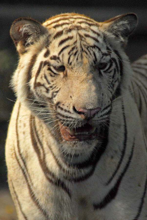 Download A Wild Life Shot Of A White Tiger Stock Photo - Image: 38815948
