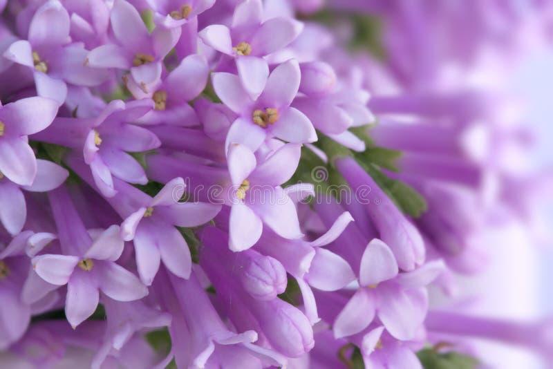 wild lila royaltyfri fotografi