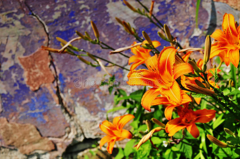 Download Wild lily flowers stock photo. Image of vibrant, grunge - 31993570