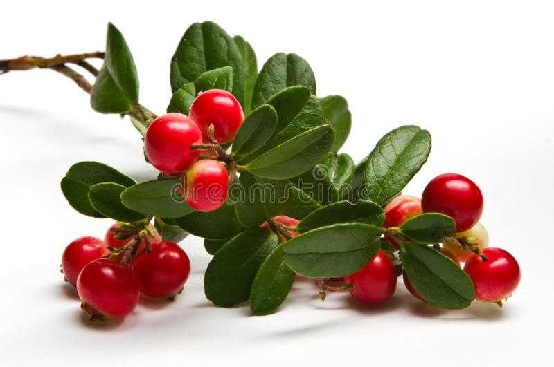 Wild lingonberry (cowberry). A close-up of a wild lingonberry (cowberry stock image