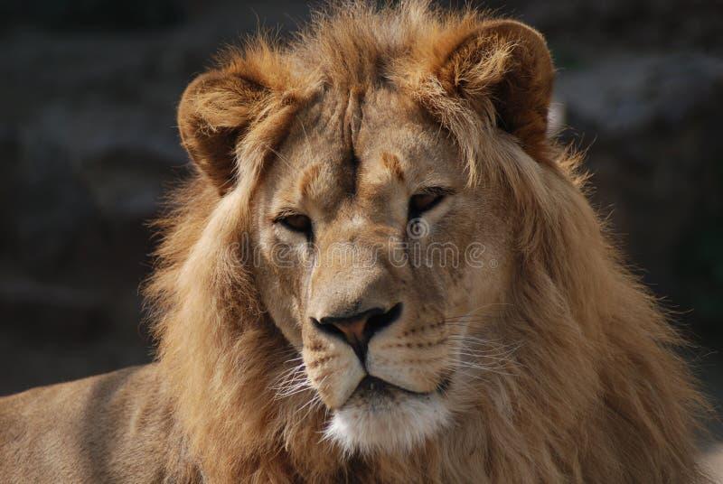 Wild Lion Royalty Free Stock Photos