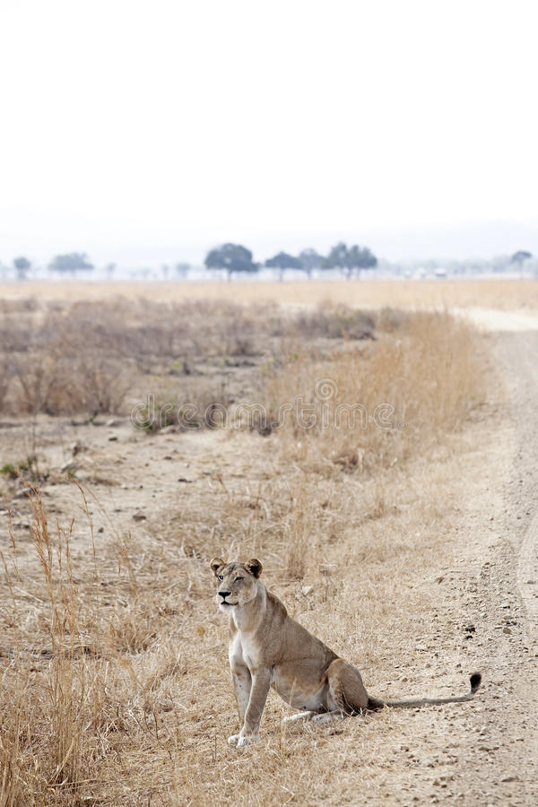 Download Wild lion stock photo. Image of african, stare, male - 27809754