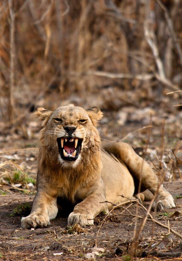 Wild Lion arkivbild
