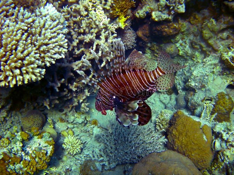 Wild lion fish stock photo