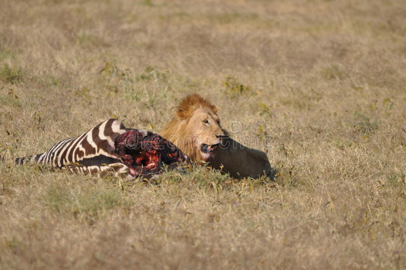 Wild lion stock images