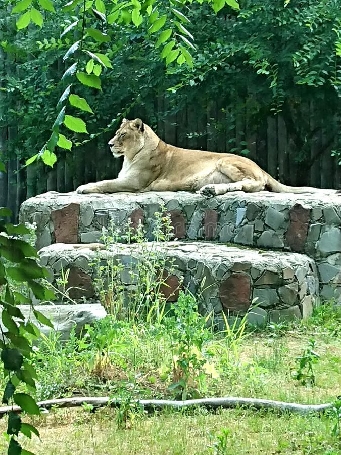 Wild lioness standing on high ground watchin over royalty free stock images