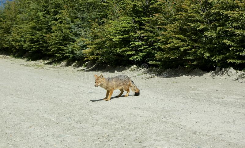 A wild little grey and red fox walking and looking at. A wild little grey and red fox walking on the road and staring, wildlife, mammal, fur, cute, nature royalty free stock photography