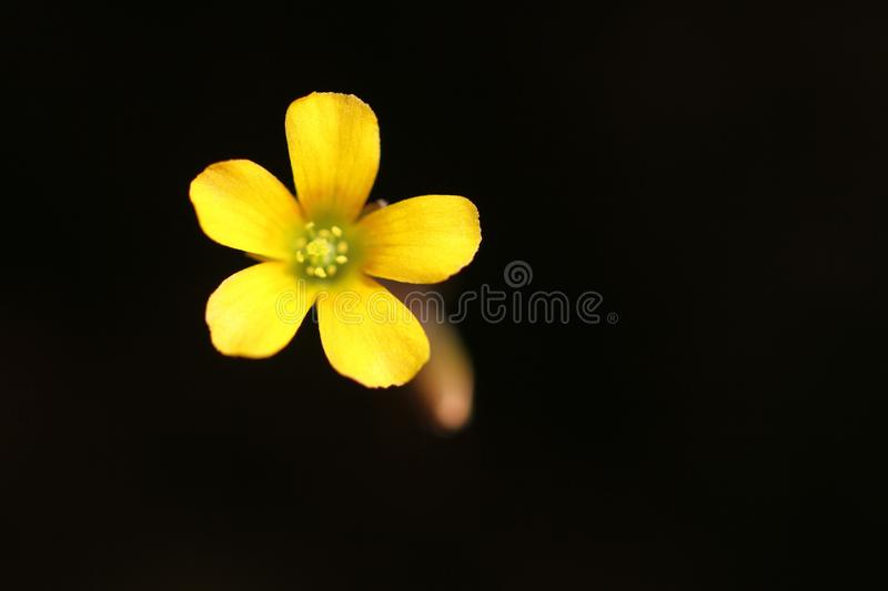 Wild little yellow flower stock images