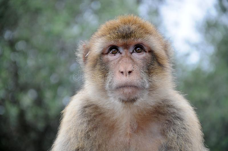Wild living barbary macaque in Gibraltar. Wild living ape . The barbary macaques are a famous attractions in Gibraltar stock image