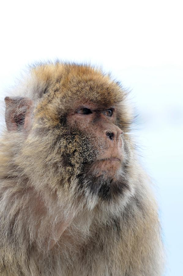 Wild living barbary macaque in Gibraltar stock image