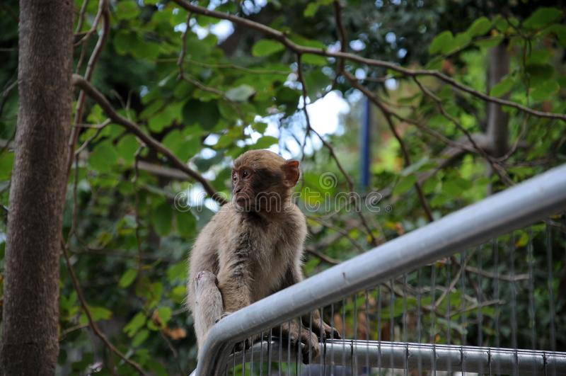 Wild living barbary macaque in Gibraltar stock photos