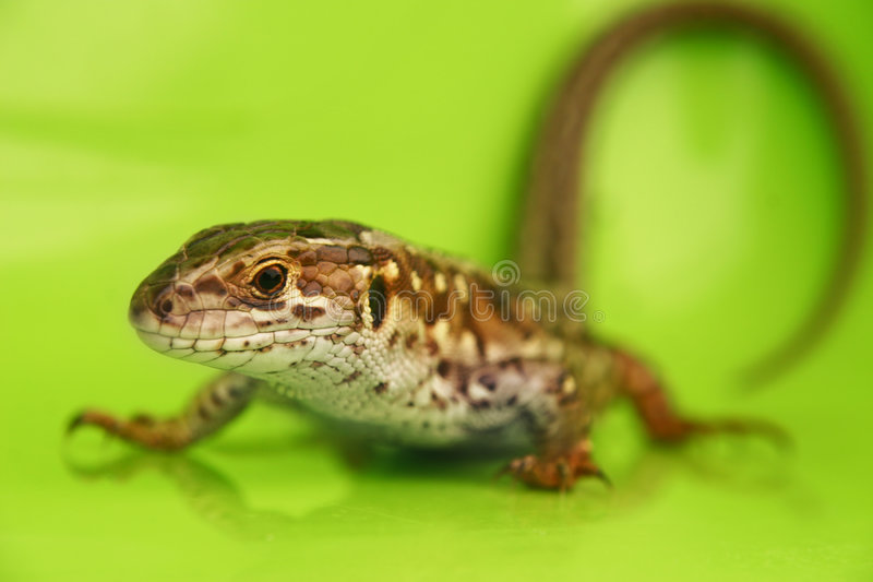 Wild lizard stock photography