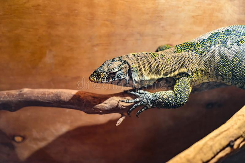 Wild lizard crawling on a branch, African lizard in a zoo stock photo