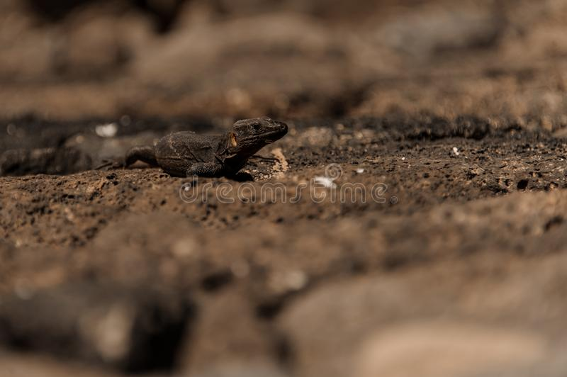 Wild lizard walking along the sandy ground. Of Spain in Gran Canaria on sunny warm day stock photo