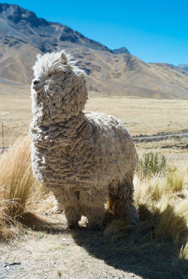 Wild Llama on the Altiplano of Peru royalty free stock photos