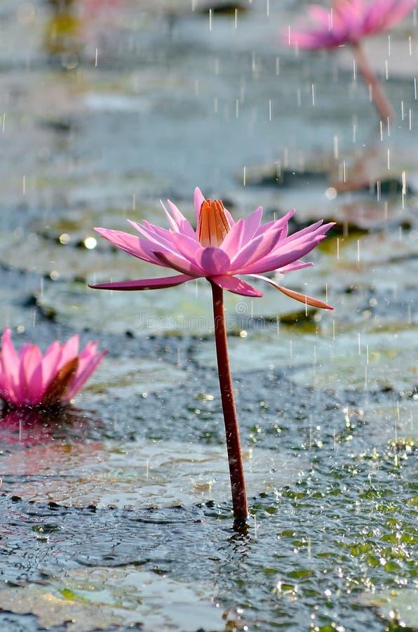 Download Wild Lotus Flower Under Rain Stock Photo - Image: 33272184