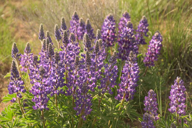 Wild Lupine Purple Blooms In Warm Afternoon Sunshine. Wildflowers stock images