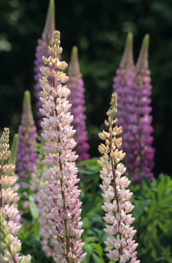 Download Wild Lupins, Nova Scotia Stock Photography - Image: 763482