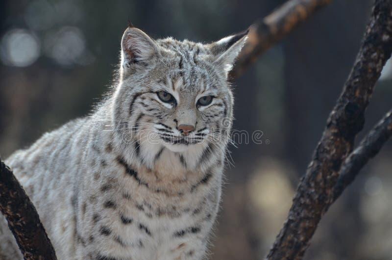 Wild Lynx Cat royalty free stock photo