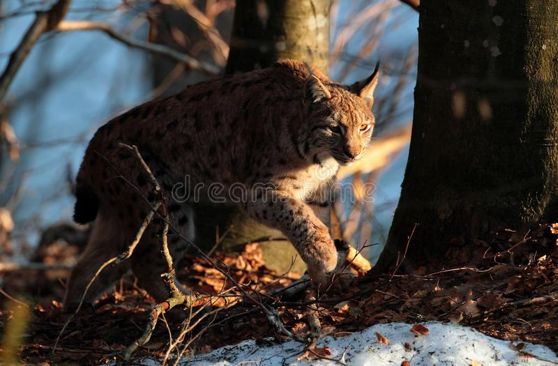 Wild Lynx Into The Forest Stock Image