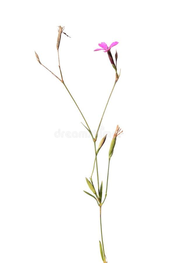 Wild Maiden Pink flower isolated on white. Wild Maiden Pink (Dianthus deltoides) flower isolated on white royalty free stock photos