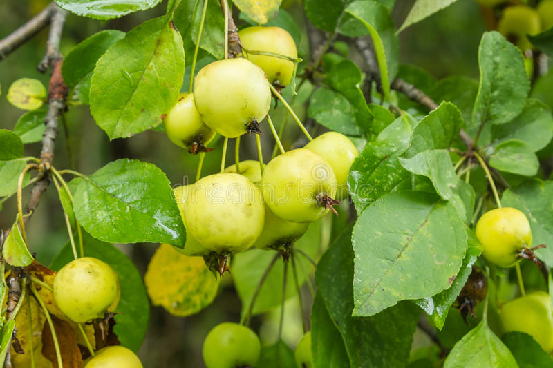 Wild Maine Crab Apples. Growing in the northeastern United States royalty free stock photo