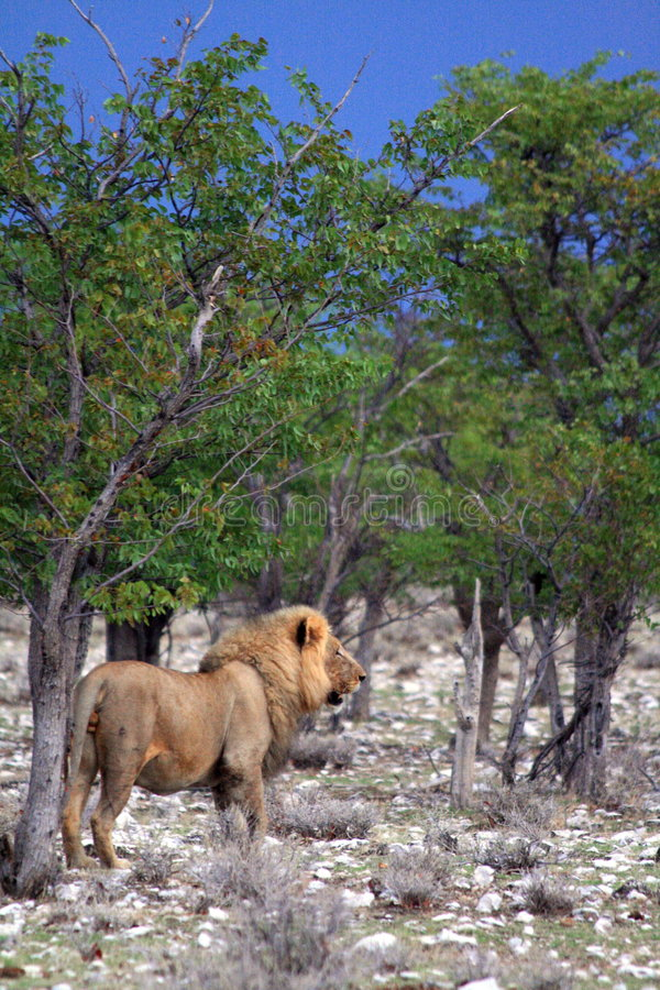 Wild male african lion namibia stock images
