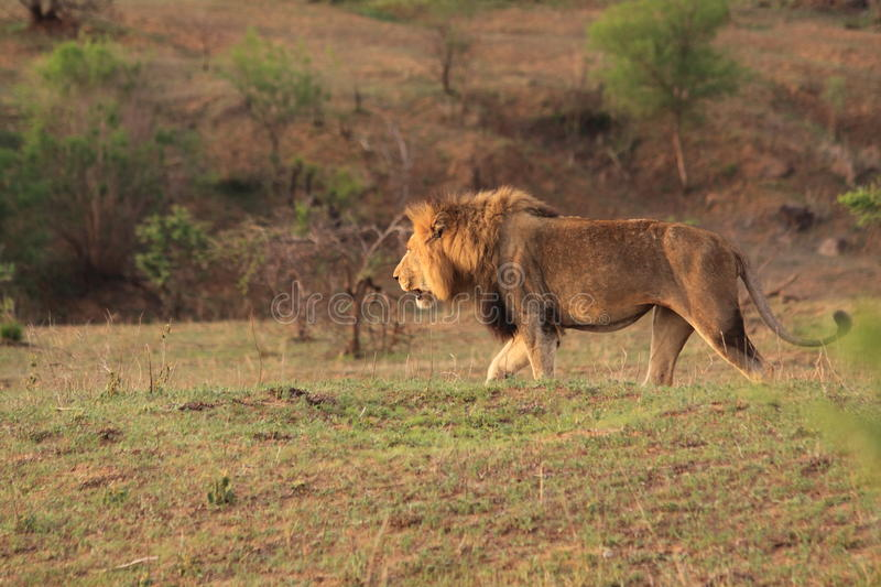 Adult wild male african lion walking savanna safari stock photography
