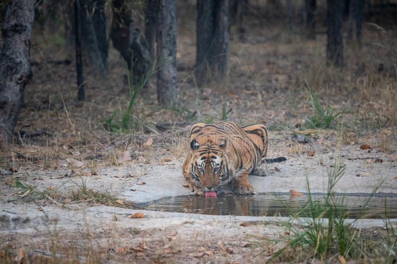 Wild male bengal tiger drinking water from waterhole while patrolling his territory sighted him in evening safari at bandhavgarh royalty free stock images