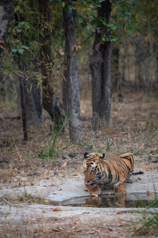 Wild male bengal tiger drinking water from waterhole while patrolling his territory sighted him in evening safari at bandhavgarh stock images