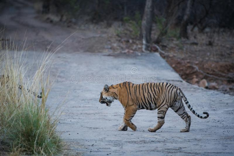 Wild Male bengal tiger head on an evening stroll on a jungle track at ranthambore national park. Rajasthan, india - panthera tigris stock photos