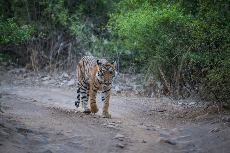 Wild Male bengal tiger head on an evening stroll on a jungle track at ranthambore national park. Rajasthan, india - panthera tigris royalty free stock photography