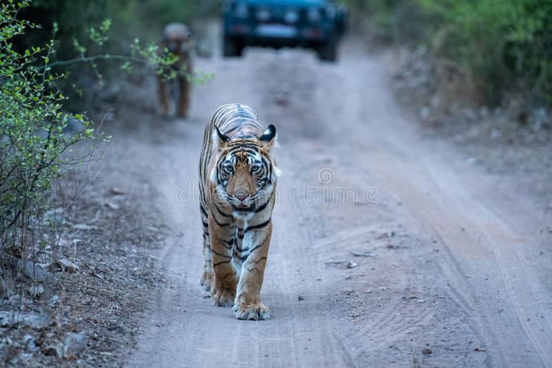 Wild Male bengal tiger head on an evening walk on a jungle track at ranthambore national park. Ranthambore Wild Male Bengal Tiger head on an evening walk and stock photography