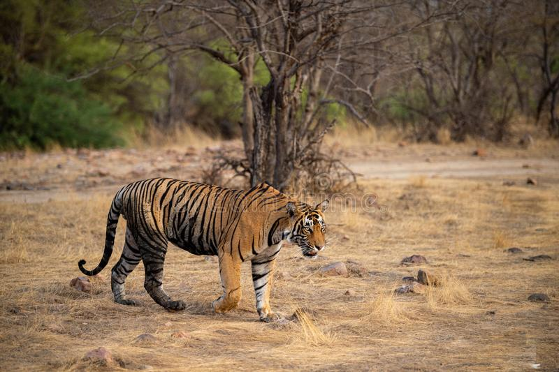 Wild male bengal tiger veeru or T109 on evening stroll. He died today in territorial fight with another male tiger T42 royalty free stock image