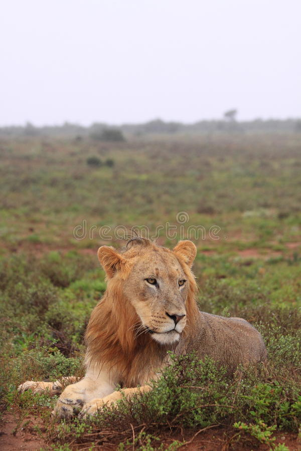 Wild male lion stock photography