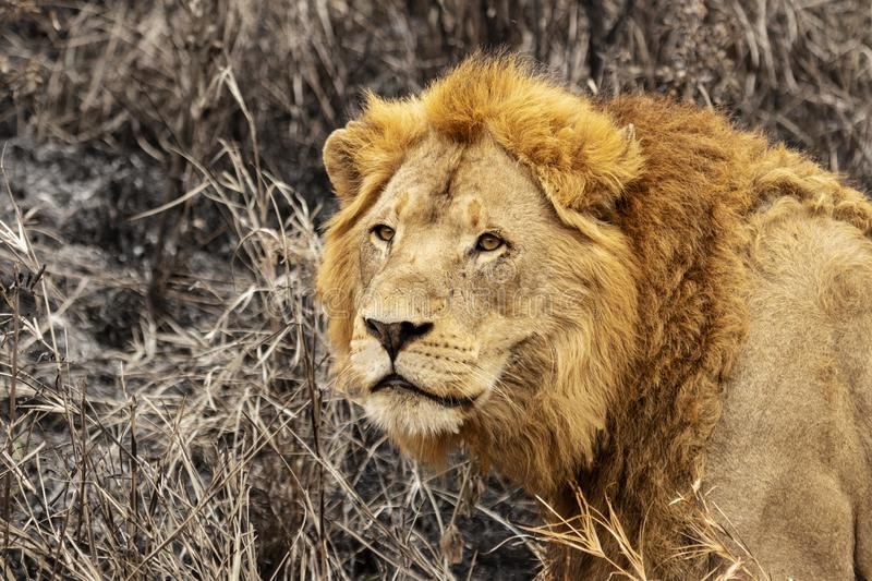 Wild male lion head with bushes royalty free stock photography
