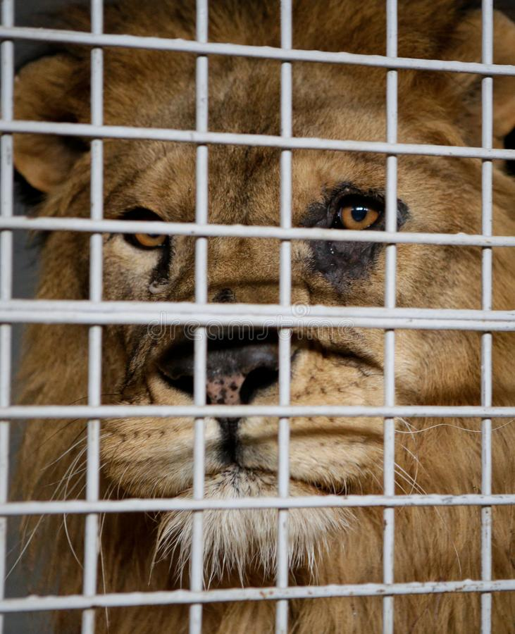 Wild male lion kept in cage inside a circus menagerie - animal abuse.  royalty free stock photography