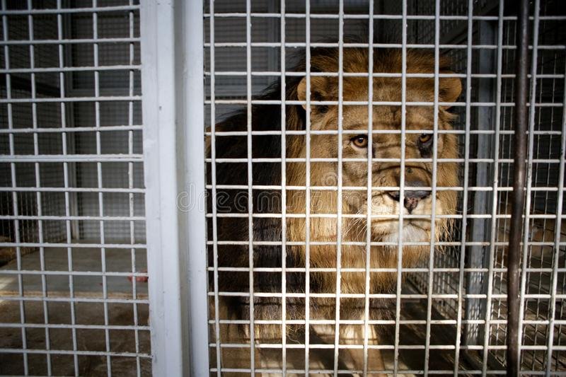 Wild male lion kept in cage inside a circus menagerie - animal abuse.  stock images