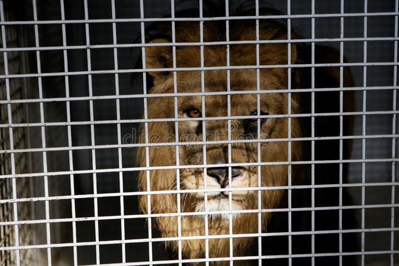 Wild male lion kept in cage inside a circus menagerie - animal abuse.  stock photos