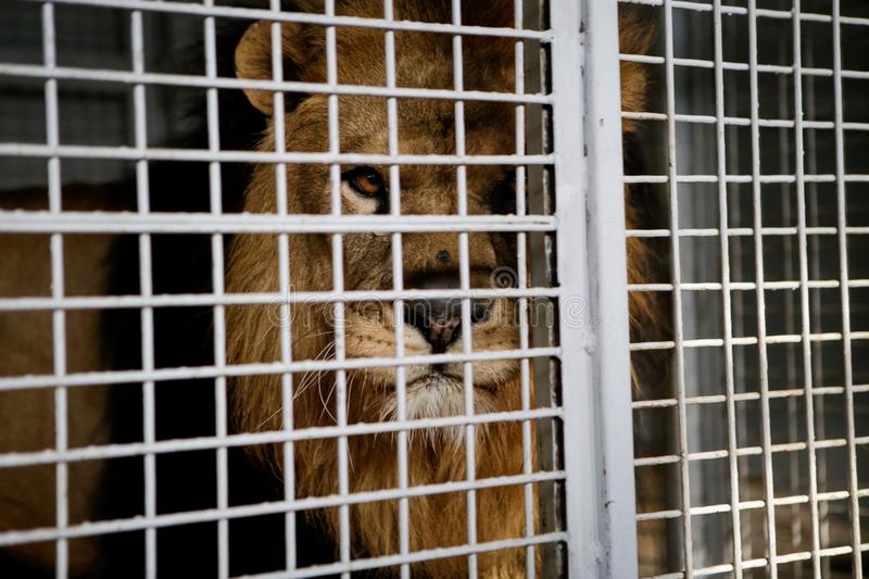 Wild male lion kept in cage inside a circus menagerie - animal abuse.  royalty free stock photo