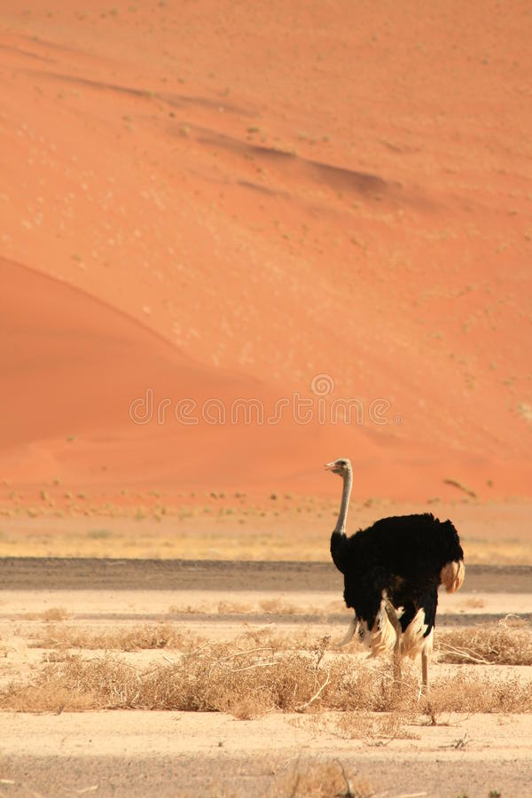 Wild Male Ostrich Desert Namibia Stock Images