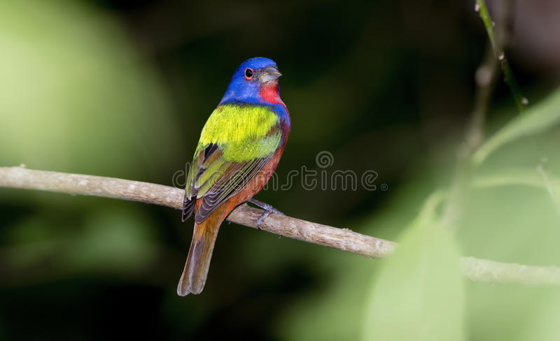 Wild Male Painted Bunting in Punta de Mita, Mexico. Wild Beautiful Male Painted Bunting in Punta de Mita, Mexico royalty free stock images