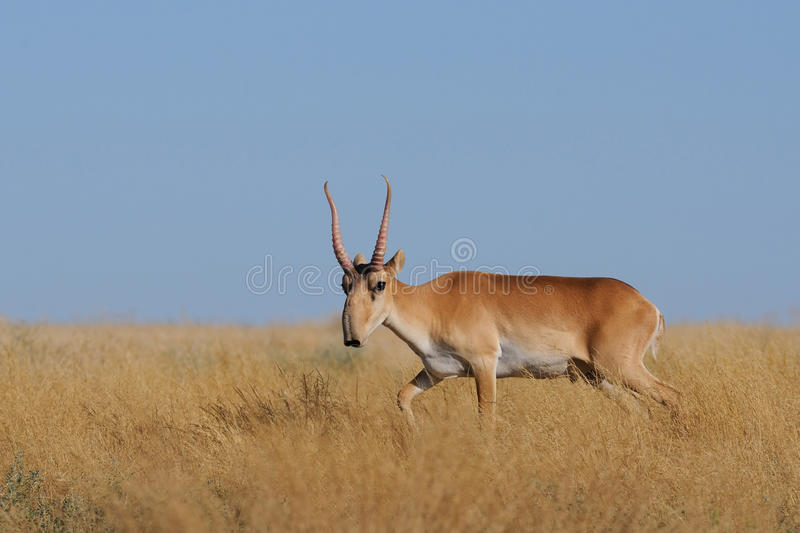 Wild male Saiga antelope in Kalmykia steppe royalty free stock images