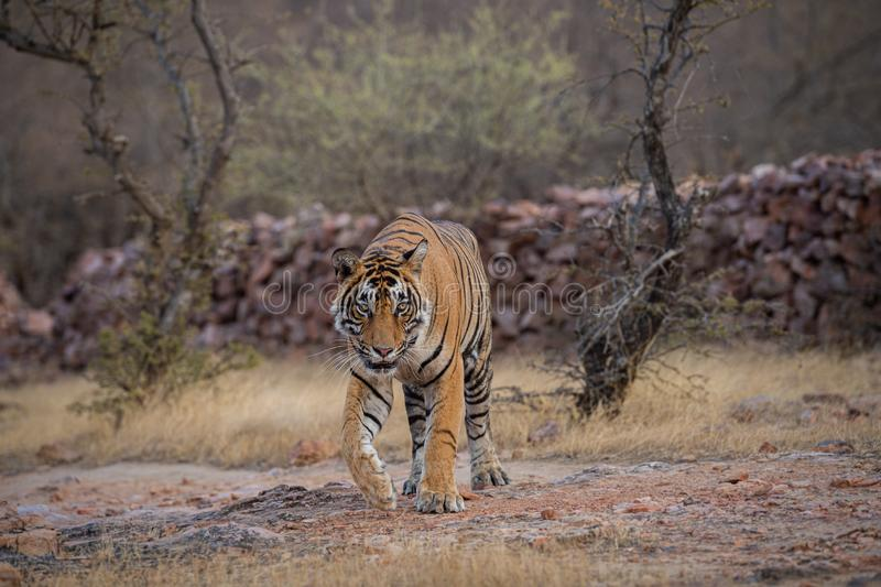 Wild male tiger panthera tigris on evening stroll and territory marking at summer safari in dry deciduous forest of Ranthambore. Headon image of Wild male tiger royalty free stock photography