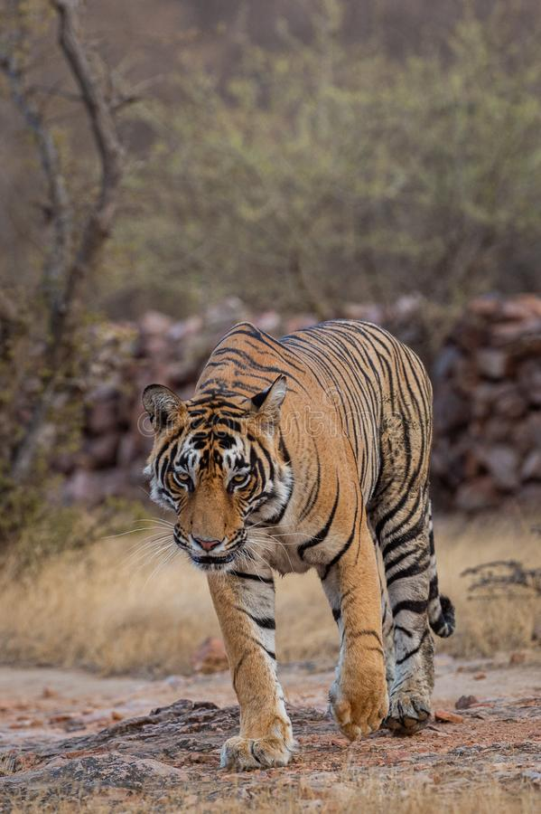 Wild male tiger panthera tigris on evening stroll and territory marking at summer safari in dry deciduous forest of Ranthambore. Headon image of Wild male tiger royalty free stock photo